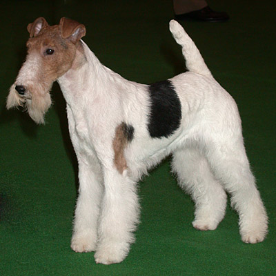 Corte de fox terrier pelo duro